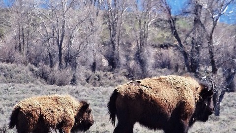 Bison out for a rip in Teton National Park. #avalon7 #jacksonhole #thinkoutside www.avalon7.co